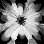 Black Petal