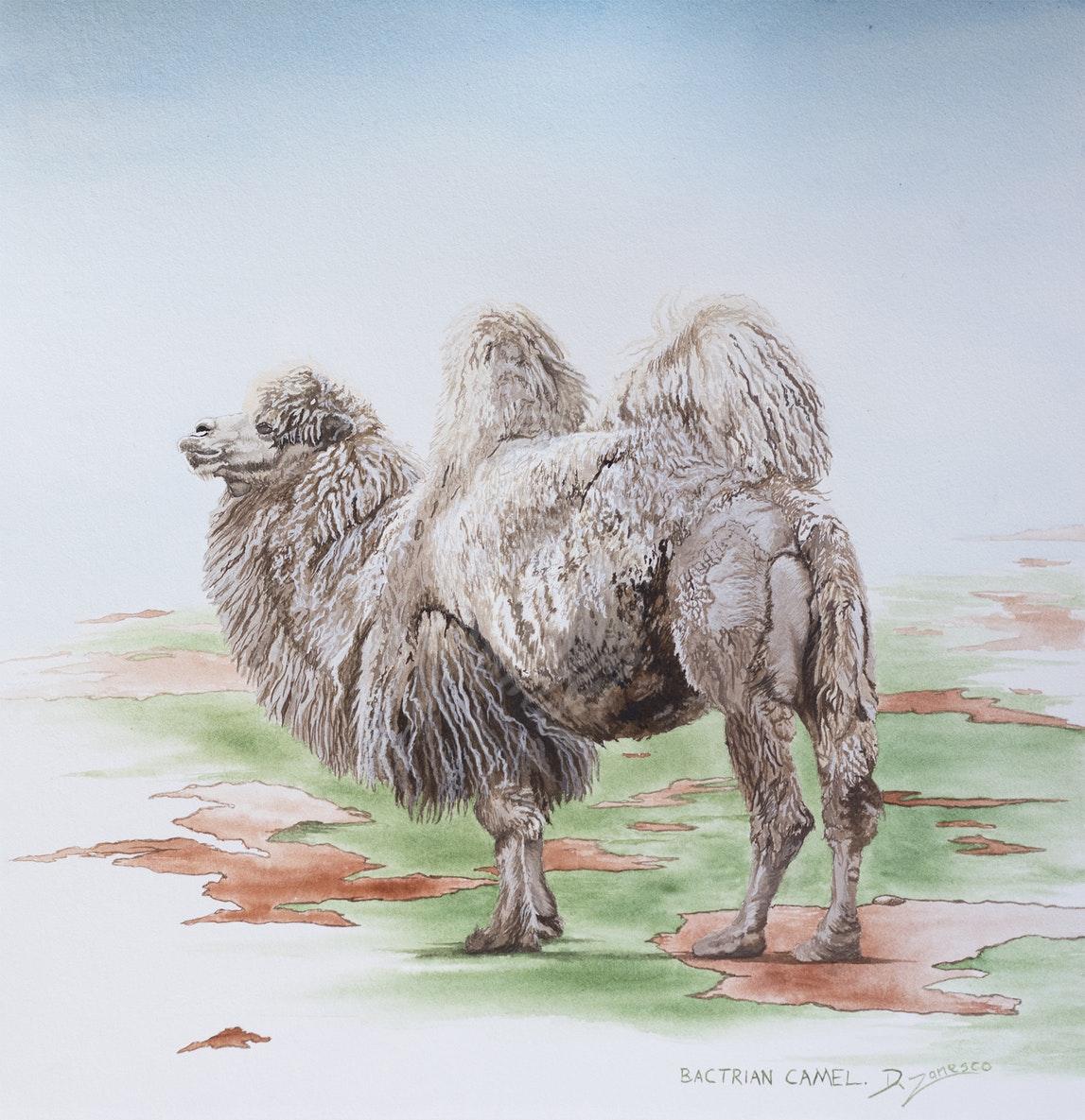 bactrian-camel-dario-zanesco