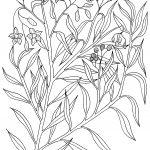 Plant 62 – Emu Poison Bush – Duboisia hopwoodii