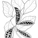 Plant 193 – Kurrajong – Brachychiton diversifolius
