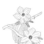 Plant 194 – Red Flowering Kurrajong (also known as Coastal Cotton Tree) – Brachychiton paradoxum