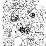 Plant 196 – Wild Grape (also known as Bush Casava) – Ampelocissus acetosa