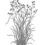 Plant 265 – Native Millett – Panicum decompositum