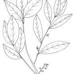 Ltd Ed Print Jungle Cluster Flower – Glycosmis pentaphylla