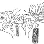Ltd Ed Print Termite Tree – Ganophyllum falcatum