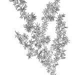 Ltd Ed Print Star Baronia – Baronia lanuginosa