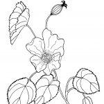 Plant 79 – Desert Lantern  – Abutilon leucopetalum