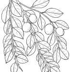 Plant 310 – Malaria Bush – Petalostigma quadriloculare