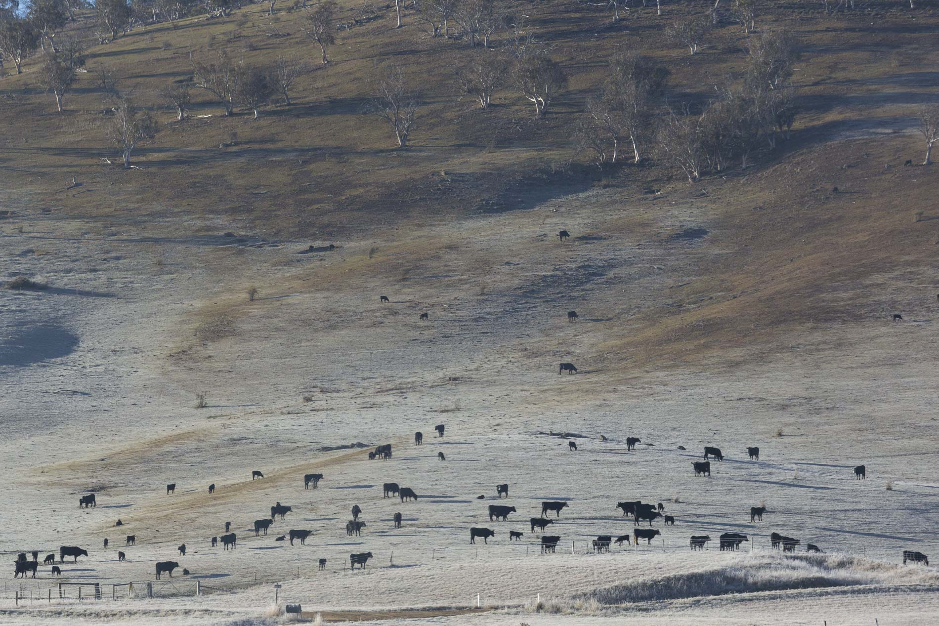 Cows In Omeo Aldona Kmiec