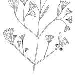 Ltd Ed Print Fine-leafed Beach Shrub – Suriana maritima