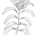 Ltd Ed Print Geebung – Persoonia falcata