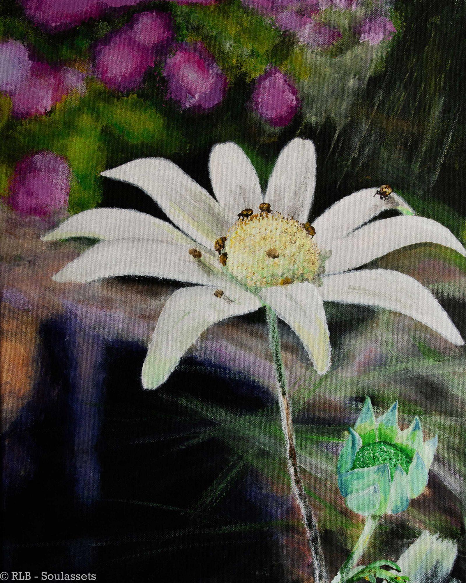 Flannel Flower RLB MQF