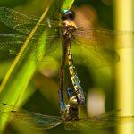 Australian Tiger Dragonflies (Ictinogomphus Australis) – Ltd Ed Print