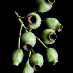 Green Gum Nuts ~ Still Life Australian Nature