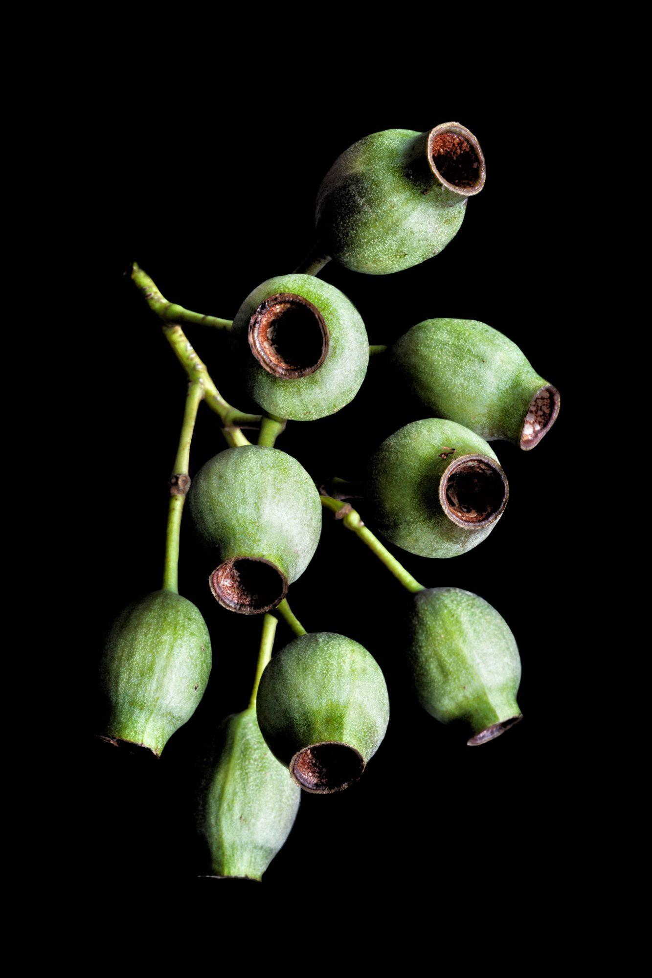 GumnutsNew-01-01-02[1]