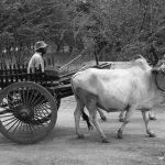 Farmer with Oxcart, Old Bagan, Myanmar – Ltd Ed Print