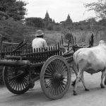 Farmer with Oxcart Pano, Old Bagan, Myanmar – Ltd Ed Print