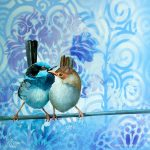 Feathery All-sorts No 2 – Superb Fairy Wren