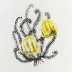 Rainford's Butterflyfish – Scientific Illustration