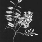 Robinia botanical