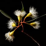 Yellow Gum Blossoms Photography Print