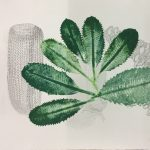 Banksia Robur II