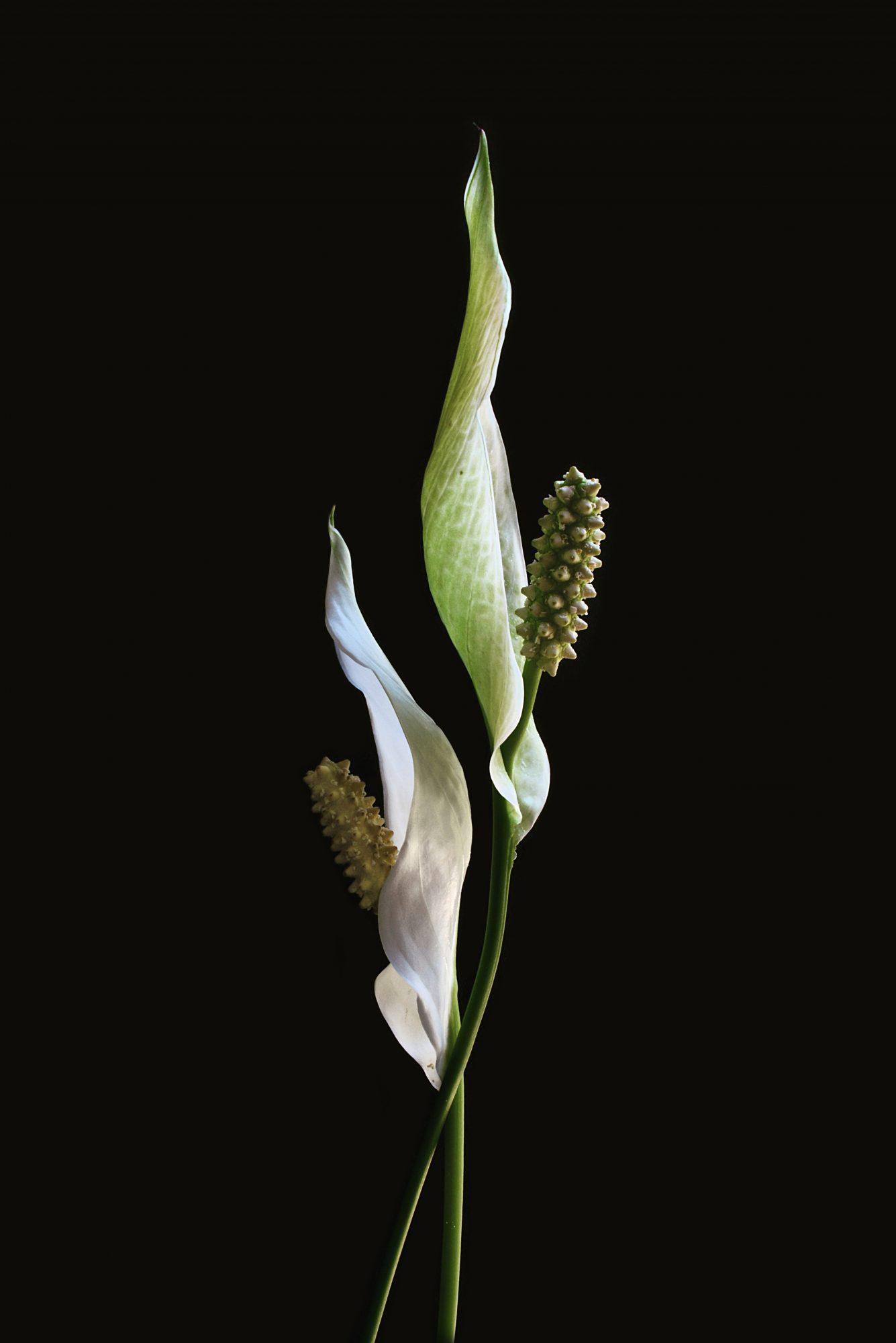Pllilies