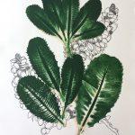 Banksia Robur III