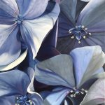 Summer Blues – Hydrangea