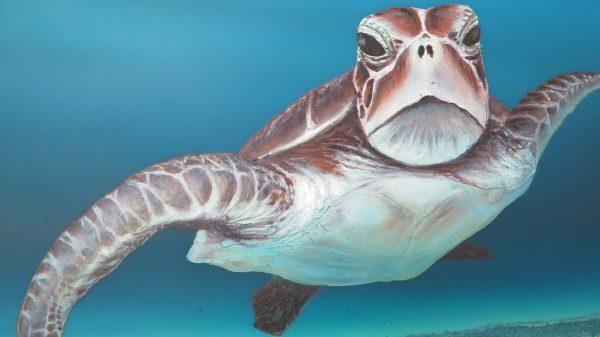 Turtles At Fitzroy Island Petra Meikle De Vlas