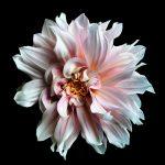 Pink Dahlia Photography Print