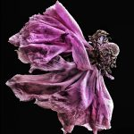 Pink Ranunculus Reinvented