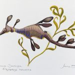 Common (Weedy) Seadragon – Scientific Illustration