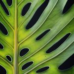 Monstera Leaf Macro Photography Print