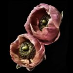 Ranunculus Twins ~ Flower Still Life