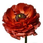 Red Ranunculus Photography Print