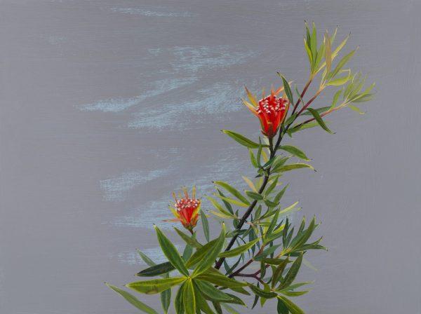 Lambertia Formosa (mountain Devil)