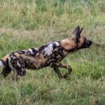 African Wild Dog  Painted beauty  Moremi Game Reserve Okavango Delta