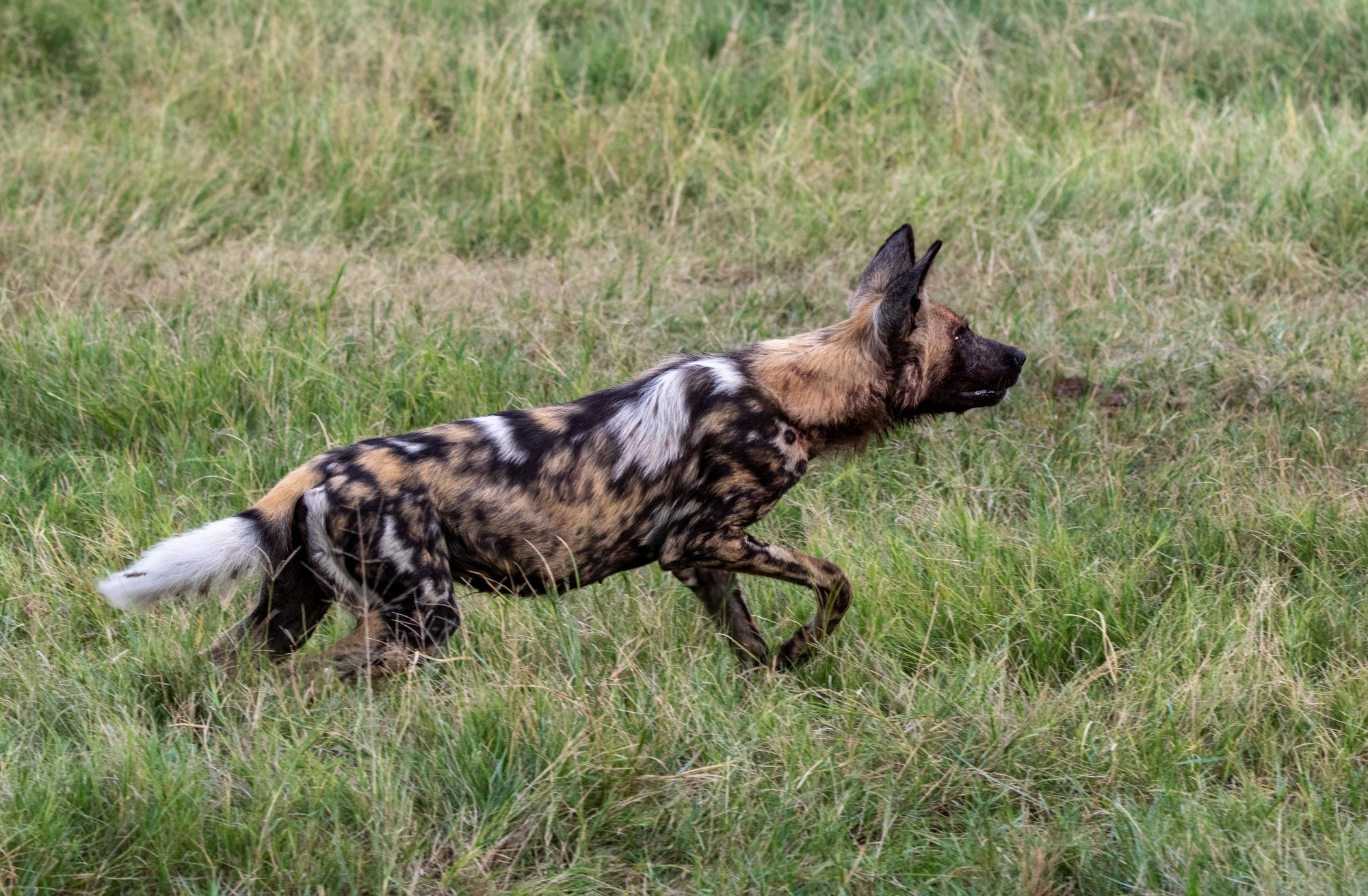 135a0781 Painted Beauty (wild Dog) 20×25