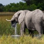 Elephant   At the pool  Okavango Delta Botswana