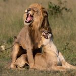 Lions  Afternoon delight  Savuti Okavango Delta