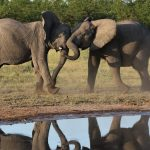 Elephants   Cushion fighting  Savuti Okavango Delta