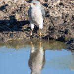 Shikra  Mirror Mirror   Savuti Okvango Delta