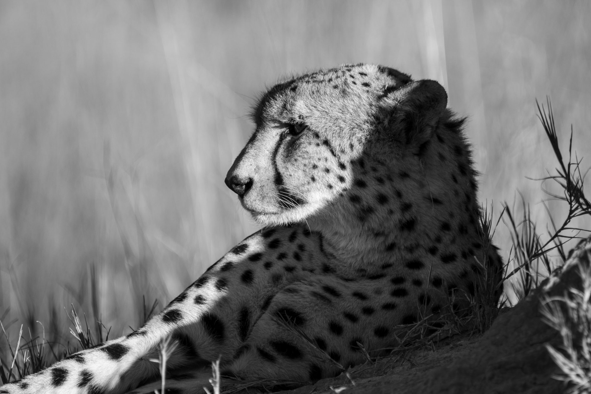 135a4078 Siesta (cheetah) A3