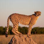 Cheetah II As the sun sets on Savuti Marsh