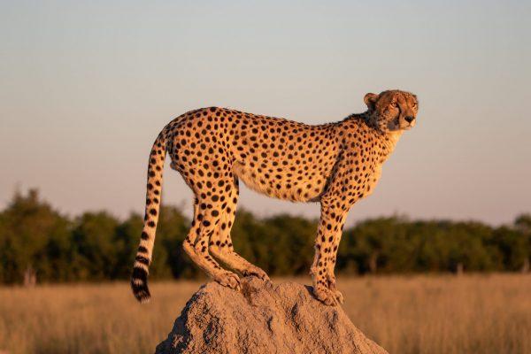 135a4159 As The Sun Sets Ii (cheetah) A3