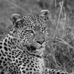 Leopard  Relaxed  Chiefs Island Okavango Delta