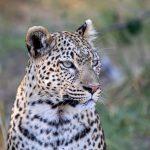 Leopard  Wheres Junior? Chiefs Island Okavango Delta