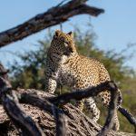 Leopard   Chiefs Island Okavango Delta