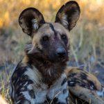 African Wild Dog   Chiefs Island Okavango Delta